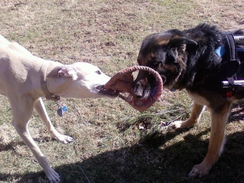 Tony and Cajun play tug together